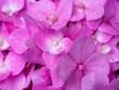 canvas print picture - Close up Hydrengea flower.