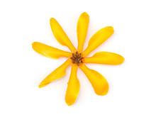 Gardenia Carinata Wallich Flower