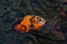 Bright Oscar Fish.