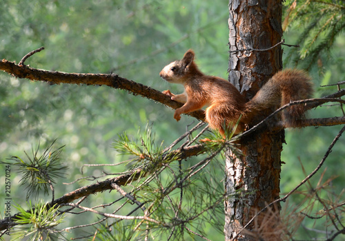 Tuinposter Eekhoorn red squirrel sitting on a branch of pine