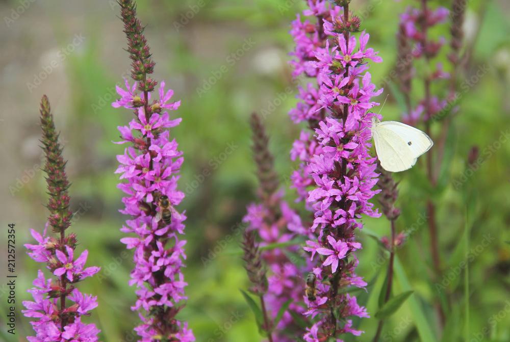 garden white butterfly (Pieris) feeding itself on blooming purple loosestrife