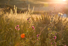 Wild Summer Meadow Overgrown Tall Grass And Wild Flowers ,backlit With Sun Flare And Cross Processed  Vintage Effect