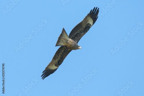 Black kite or Pariah kite flying on blue sky Poster