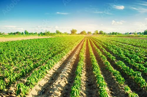 Autocollant pour porte Culture vegetable rows of pepper grow in the field. farming, agriculture. Landscape with agricultural land