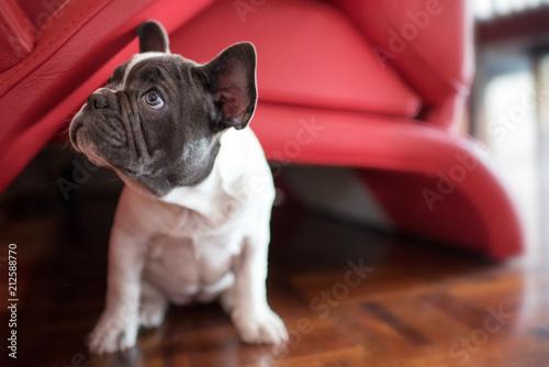 Foto op Aluminium Franse bulldog Cute little French Bulldog puppy sitting on floor