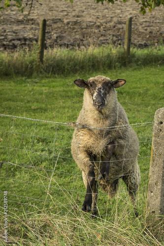 Keuken foto achterwand Schapen Schaf