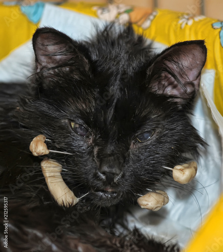 Fotografia  a sick sore cat with medical knitting needles in the face after an operation on