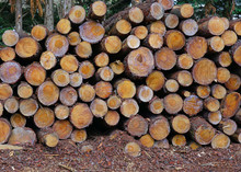 Stacks Of Wood Logs Freshly Cut
