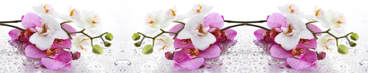 Biała i Różowa Orchidea Panoramiczna
