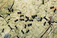 Formiche Lasisus Niger Insetti...