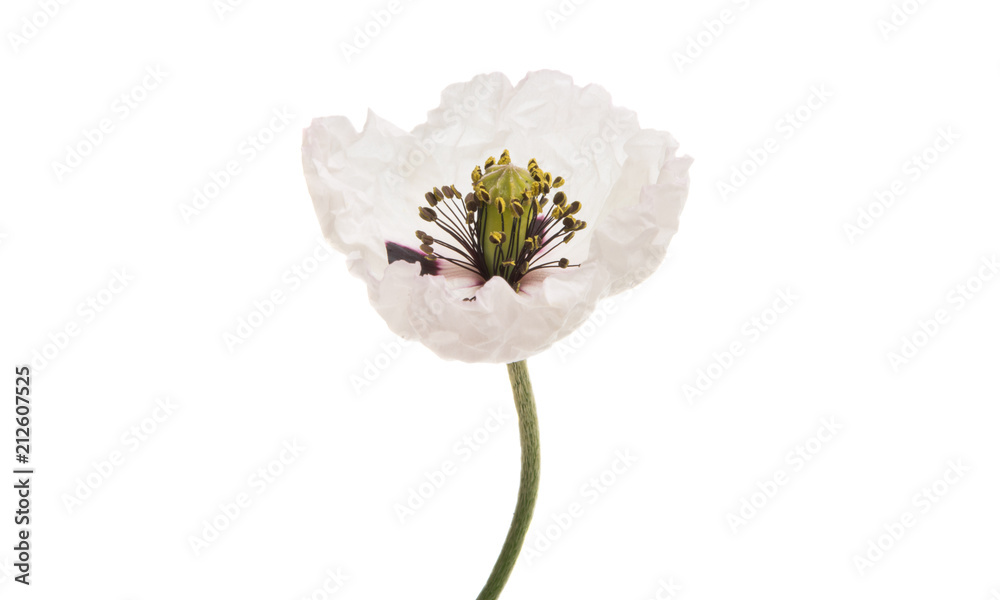 beautiful meadow poppies isolated