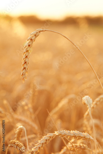 Fototapety, obrazy: Summer time for harvest. Golden ears of wheat are ready for Harvest. Harvest Concept. Background of wheat field.