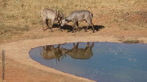 Tuinposter Antilope antelope in kenya