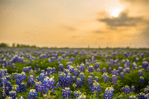 Texas wildflower fields Wallpaper Mural