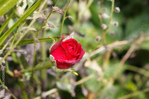 Fleur De Rose Rouge Buy This Stock Photo And Explore Similar