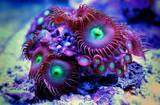 Zoanthus polyps colony in reef aquarium tank