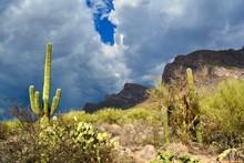 Monsoon Season Saguaro Linda V...