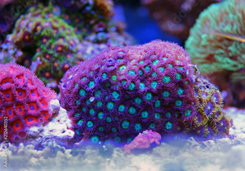 Poster Coral reefs Zoanthus polyps colony in reef aquarium tank