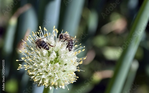 Spoed Foto op Canvas Macrofotografie bees collect nectar from flowering onions