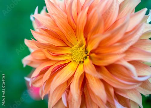 Close up of a pale orange dahlia blossom.