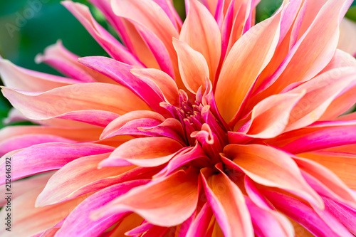 Door stickers Dahlia Labyrinth decorative dinnerplate dahlia close up.