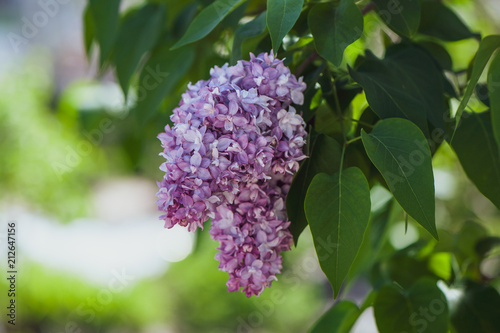 Fotobehang Lilac Delicate lilac on green, natural background, space for text, postcard