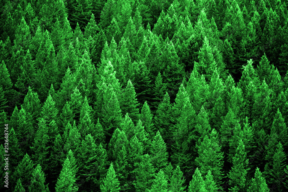 Fototapety, obrazy: Pine Forest in Wilderness Mountains
