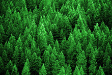 Pine Forest In Wilderness Mountains