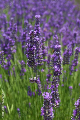 Tuinposter Lavendel LAVANDES