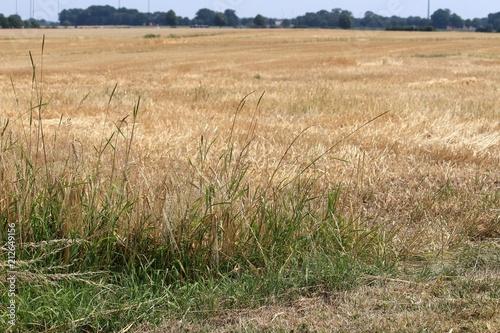 Dürre / ausgetrocknete Pflanzen nach langer Trockenheit