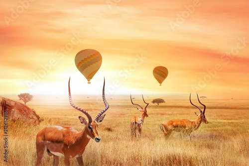 Group of african antelopes in the African savanna against a beautiful sunset and air balloons. African fantastic landscape. Flight over the African savannah in the Serengeti National Park.