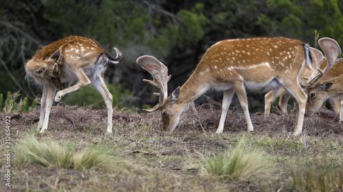 Deer (Cervus dama) in the wild. wildlife and animal photo.