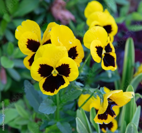 Poster Pansies Beautiful of wild pansy or viola tricolor flowers in garden