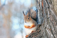 A Squirrel On A Tree In A Winter Park