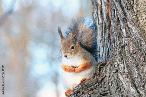 Photo sur Toile Squirrel a squirrel on a tree in a winter park