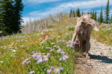 Weimaraner On Hiking Trail