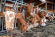 canvas print picture - Kühe im Stall