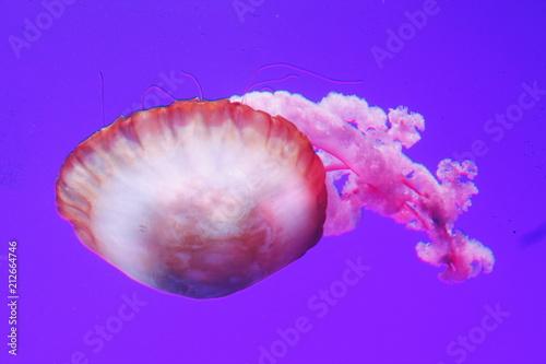 Photo Jellyfish
