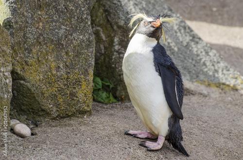 Poster Pinguin Rock Hopper Penguin in the Sunlight