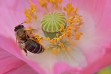 Bee Pollen Pink Poppy 10
