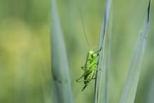 Great Green Bush-cricket, Tett...