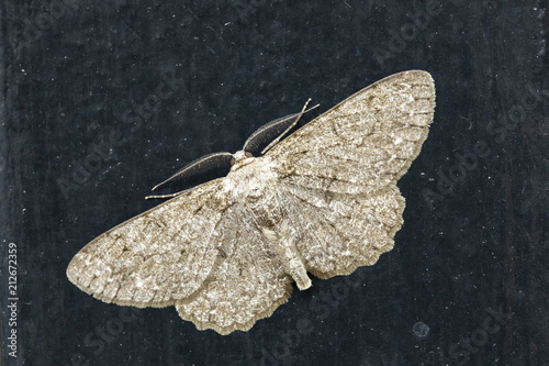 Fotografía  Closeup of the pale oak beauty, Hypomecis punctinalis, moth resting on a dark background