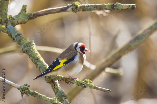 Fotomural European goldfinch bird, (Carduelis carduelis), perched on a branch of a tree in