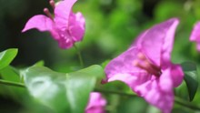 Close Up Of Pink Flowers On Nature Background. HD. 1920x1080