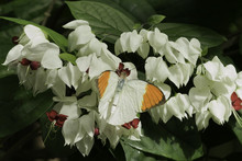 Great Orange Tip Butterfly On ...