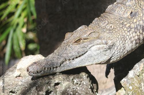 Poster Chamaleon Crocodile / Predator Reptile