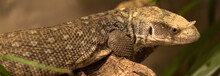 The Mexican Beaded Lizard Is A...
