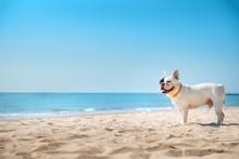 Portrait Of French Bulldog On ...