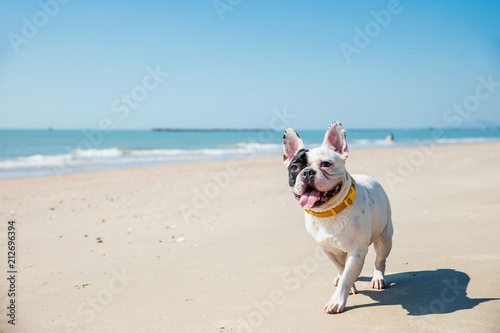 Obraz Portrait of french bulldog on the beach - fototapety do salonu