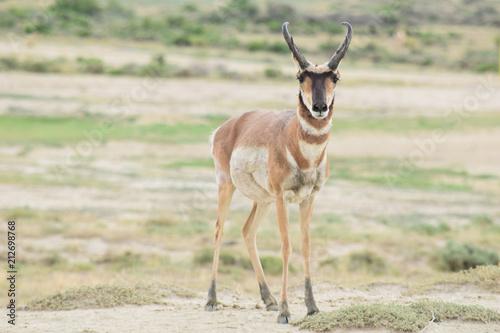 Spoed Foto op Canvas Antilope Wyoming Antelope